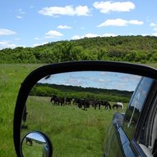 Mares on valley pasture and stallion captured in small mirror.