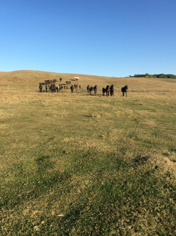 Mares on pasture.